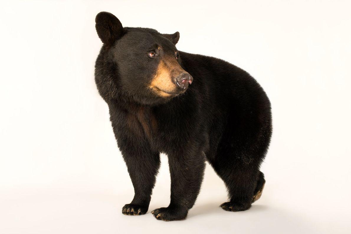 L'ours noir de Louisiane est l'une des 16 sous-espèces d'ours noir.