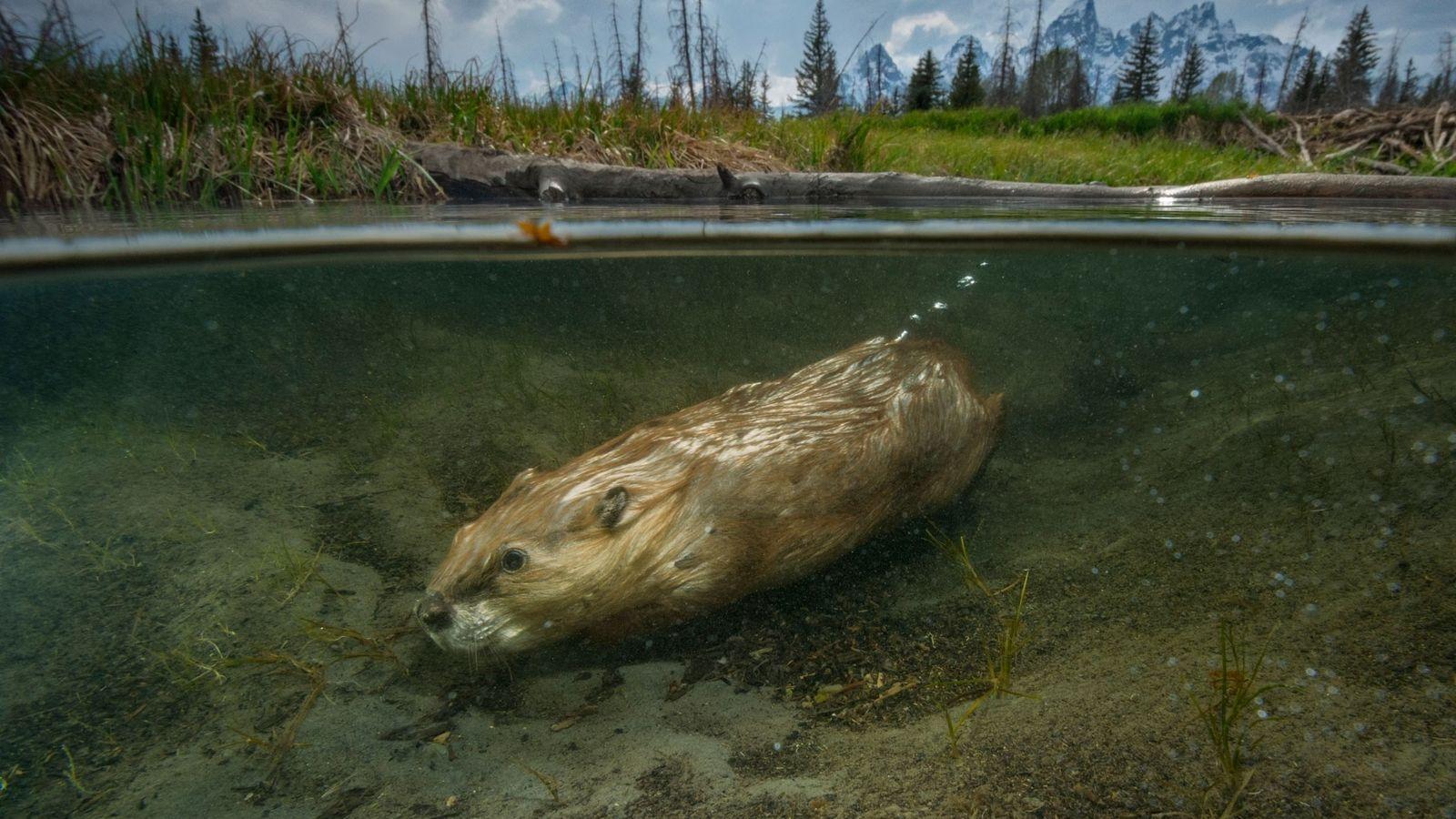 Un castor nage dans les eaux du débarcadère de Schwabacher au cœur du parc national de ...