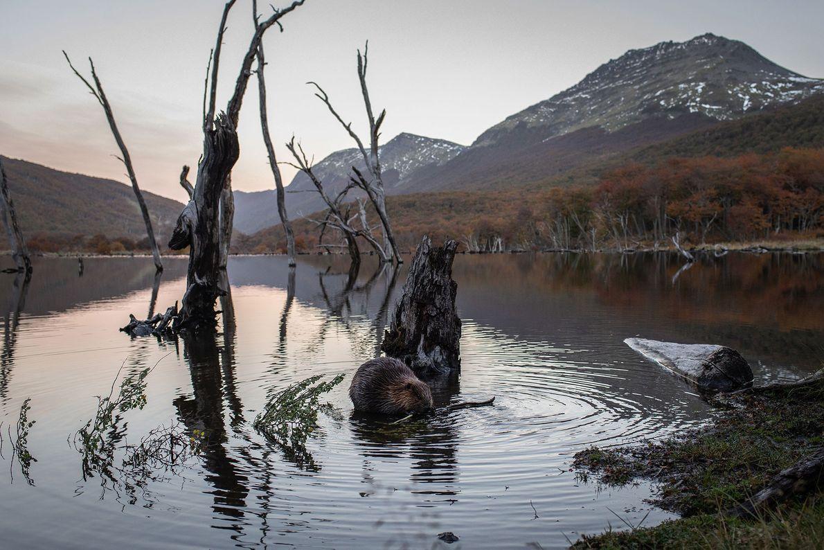 Alors que le soleil se couche sur la Terre de Feu, en Argentine, un castor ronge ...