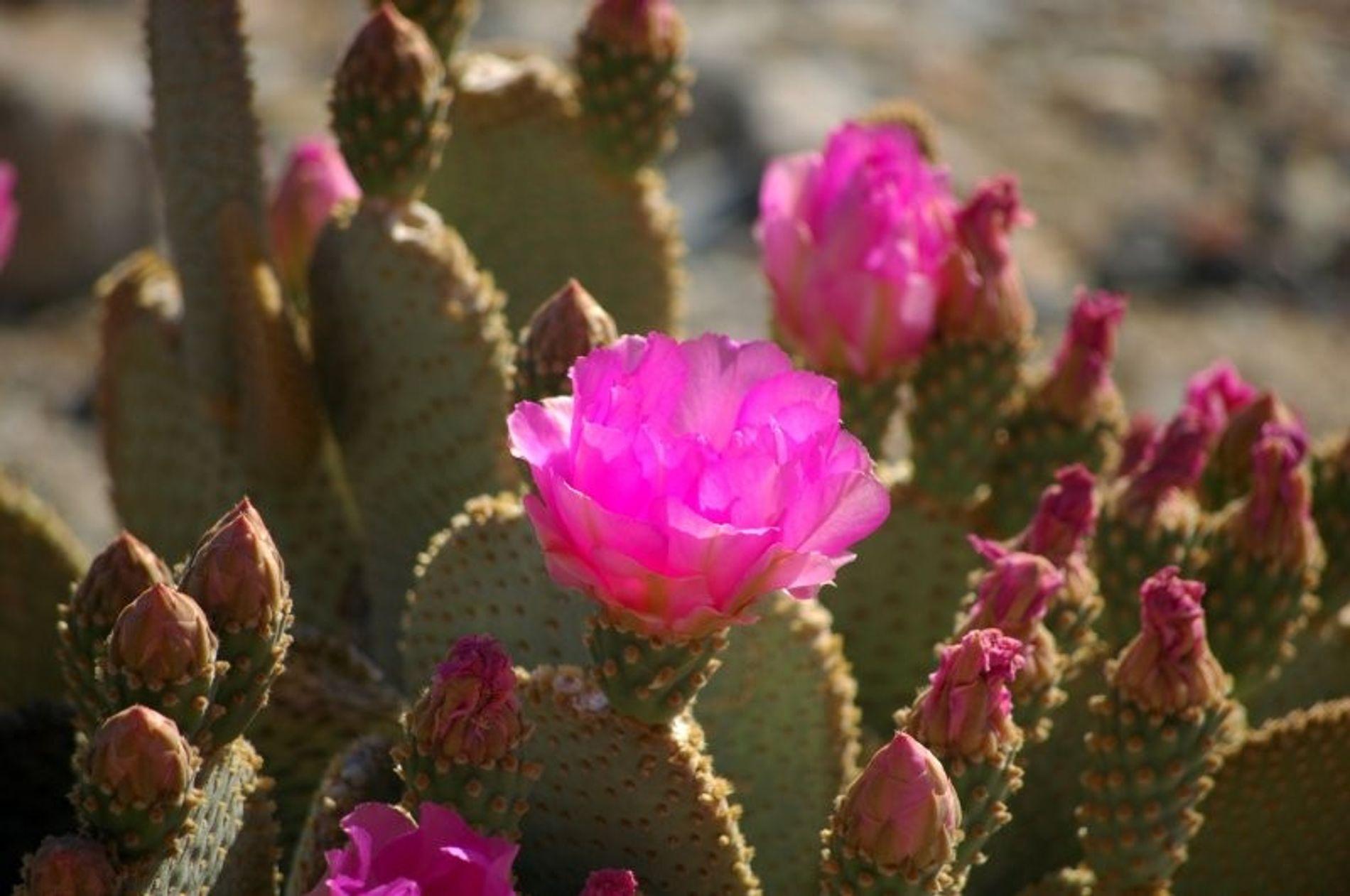 Cactus Opuntia basilaris