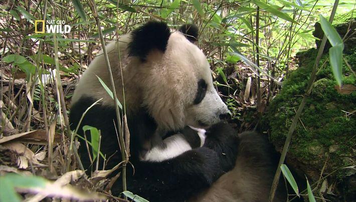 Bébé panda dans les bras de sa mère