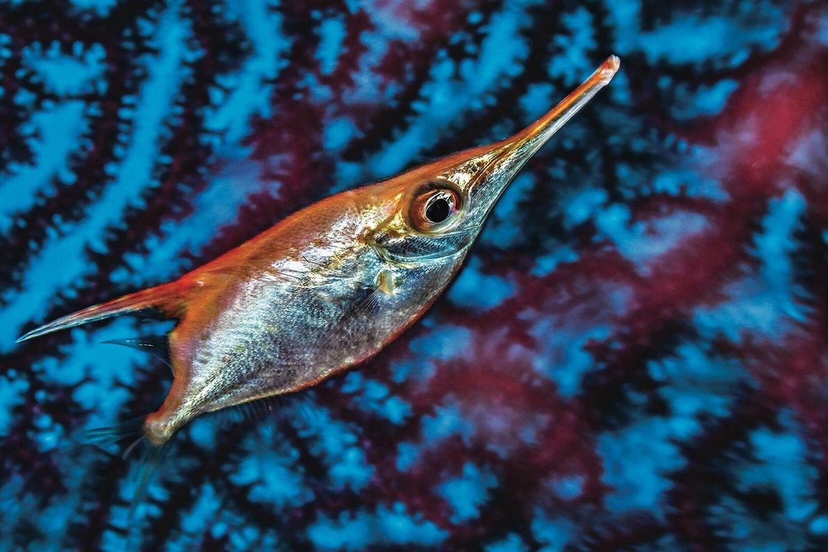 la bécasse de mer mesure environ 15 cm de long. Elle a de grands yeux pour ...
