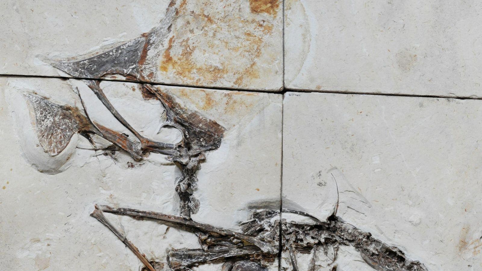 Incrusté dans des blocs de calcaire, ce nouveau fossile est l'un des premiers squelettes de ptérosaure ...