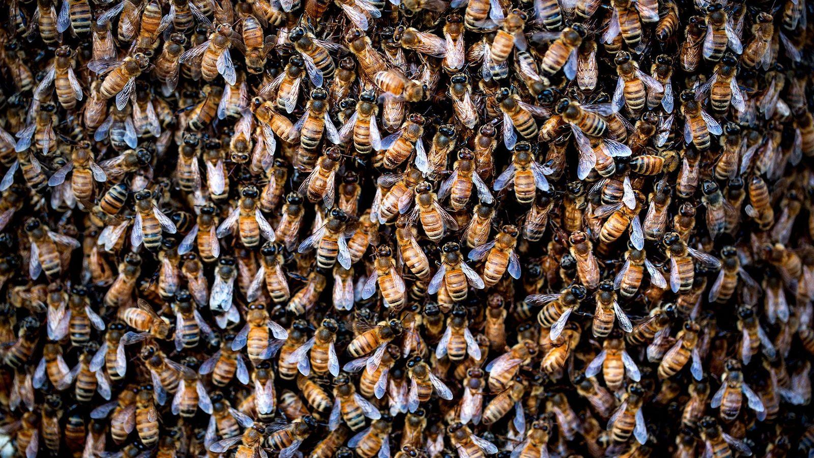 Des abeilles à miel se pressent à l'extérieur de leur ruche. Selon une nouvelle étude, aux ...