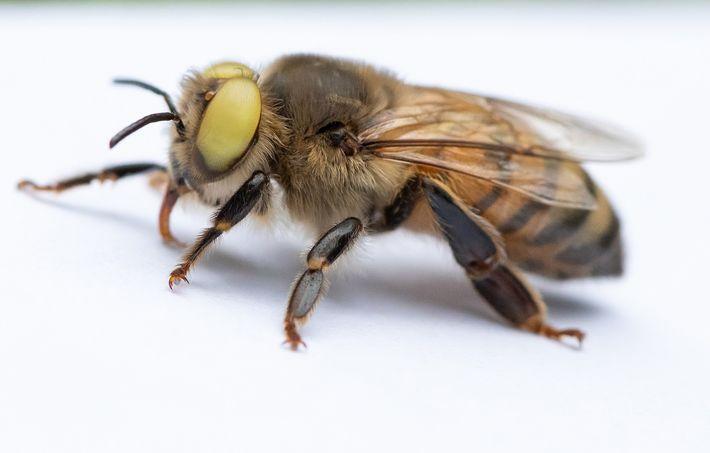 L'abeille aux yeux jaunes est atteinte de gynandromorphisme en mosaïque : elle présente des régions mâles et ...