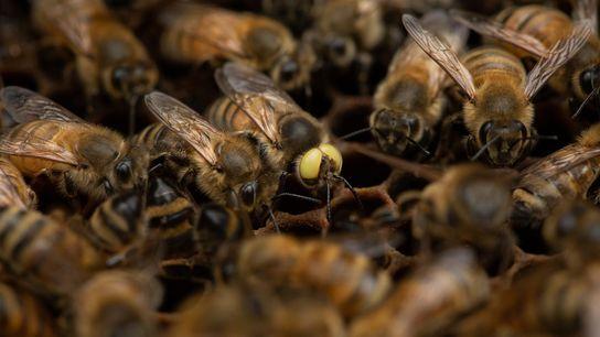 « Je travaille avec les abeilles depuis 1976 et c'est la première fois que je vois quelque ...