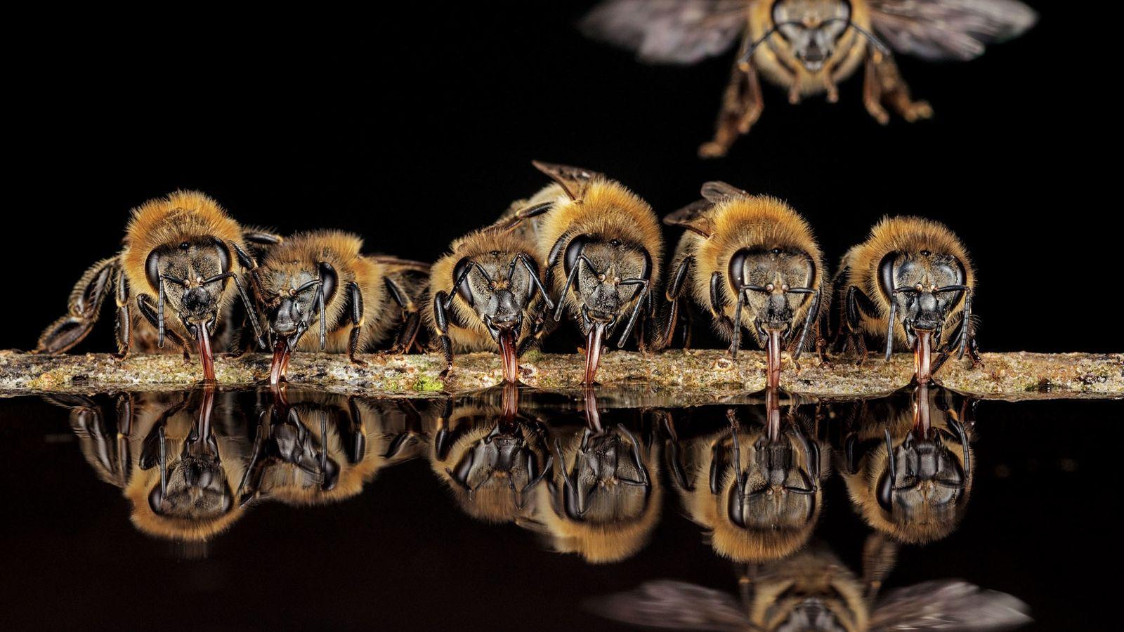 Grâce à leur langue tubulaire appelée glosse, ces abeilles européennes de Langen, en Allemagne, aspirent de ...