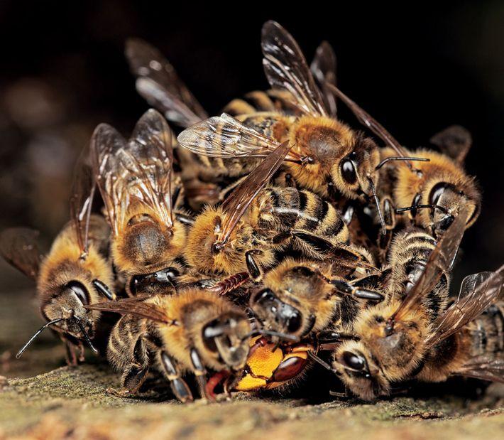 Ensuite, les abeilles contractent rapidement leurs muscles pour générer de la chaleur. La température corporelle du ...