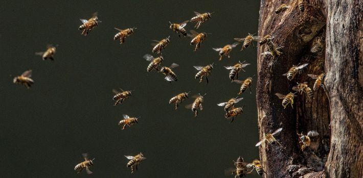 Les abeilles arrivent à leur nid installé au creux d'un arbre qu'un pic noir a creusé ...