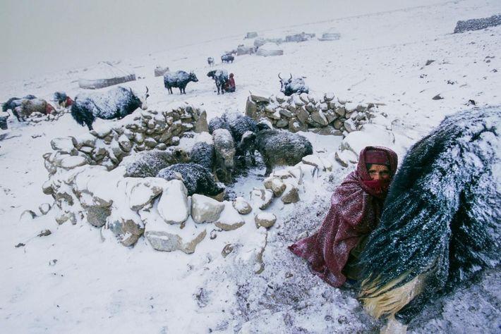 Une femme Wakhi sort des yaks alors qu'une tempête de neige fait rage dans un camp ...