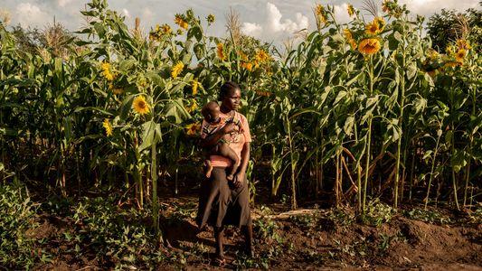 L'impact dramatique du réchauffement climatique sur les cultures céréalières africaines