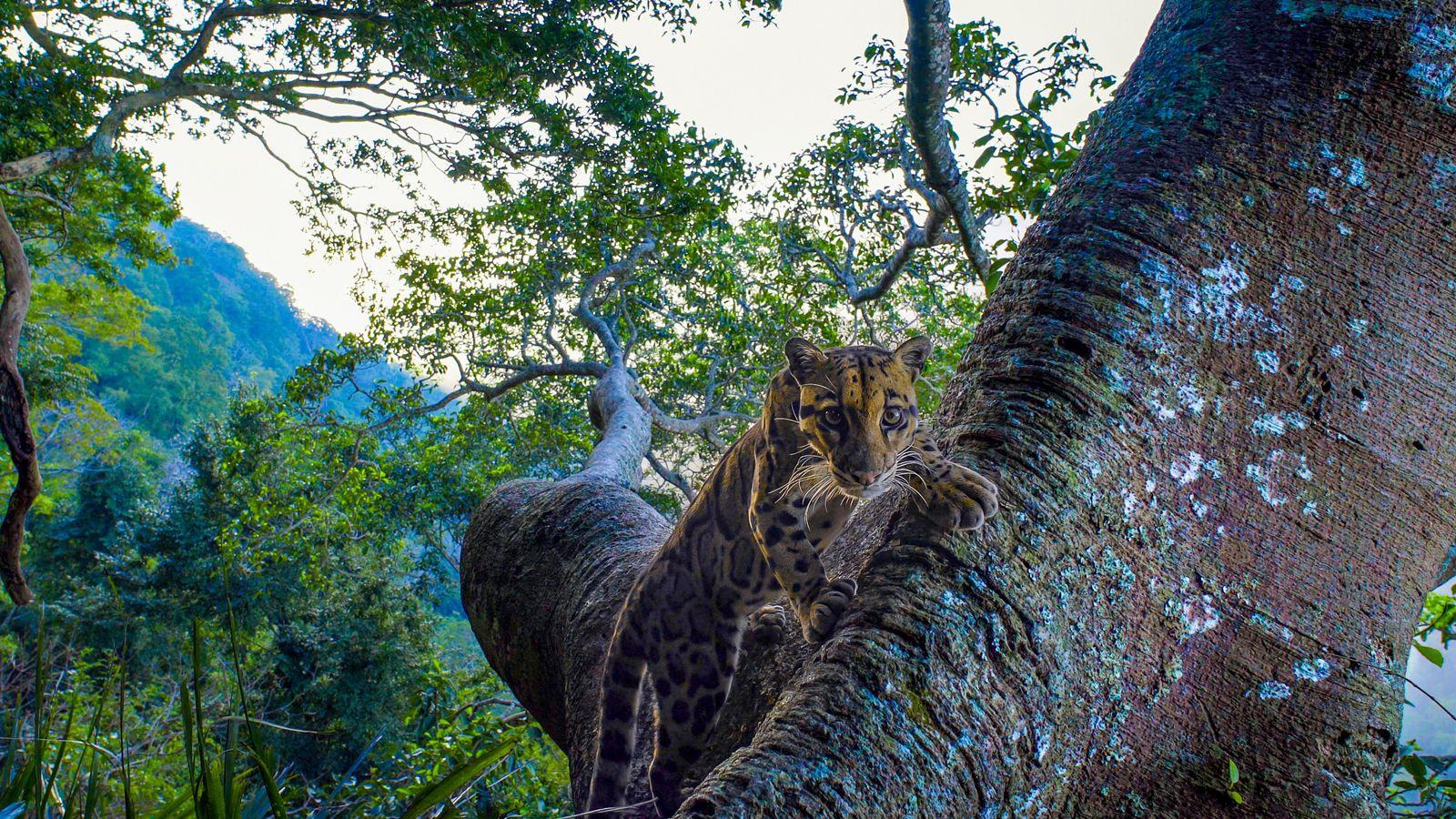 Atteignant près d'un mètre de longueur, la panthère nébuleuse est considérée comme étant vulnérable à l'extinction ...