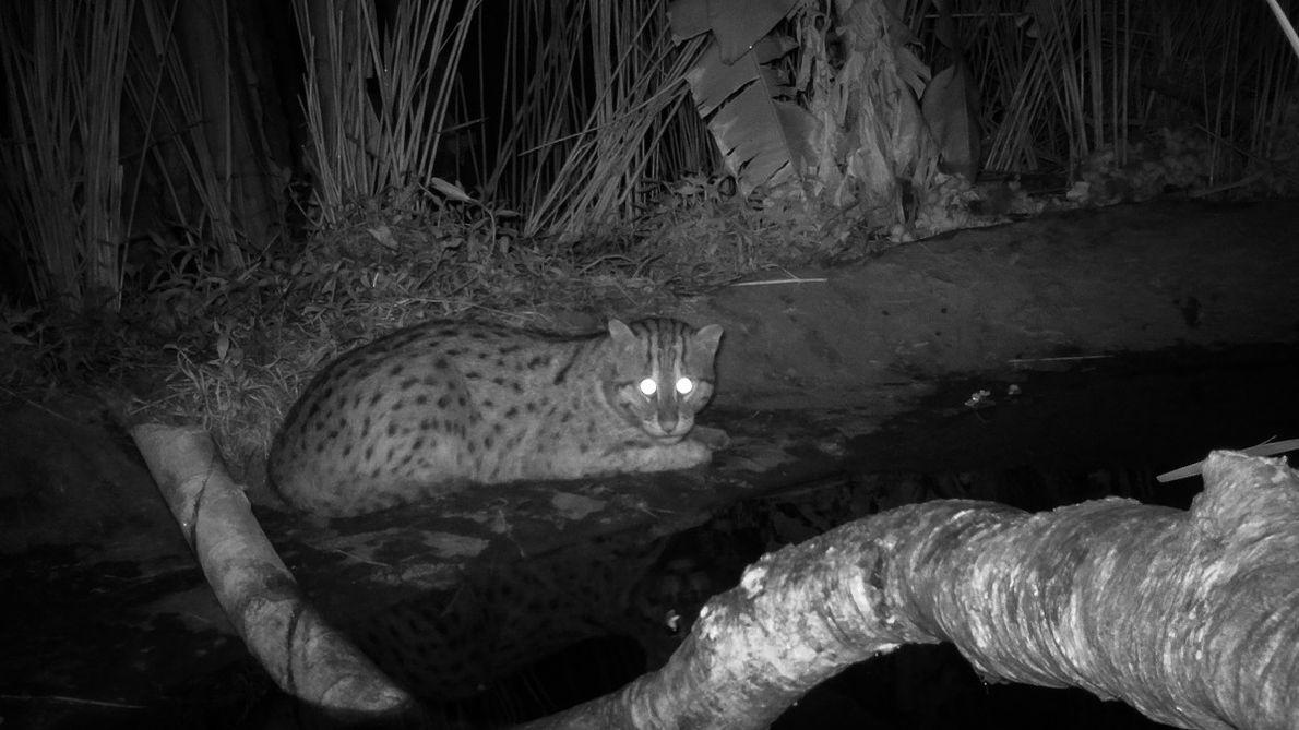 La nuit à Deulpur, le chat pêcheur ou chat viverrin, sort de sa cachette. Il est ...