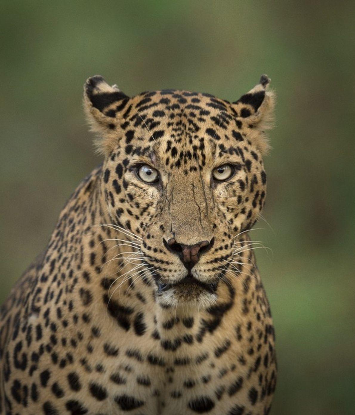 Considéré comme l'espèce de grands félins la plus répandue au monde, le léopard (y compris les ...