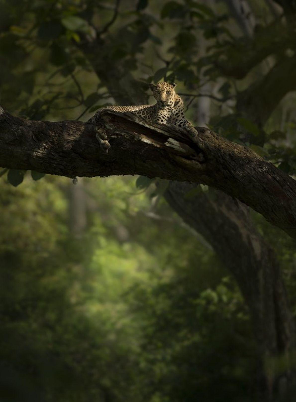 Un léopard mâle se détend perché sur une branche. Grimpeurs aguerris, les léopards traînent souvent leur ...