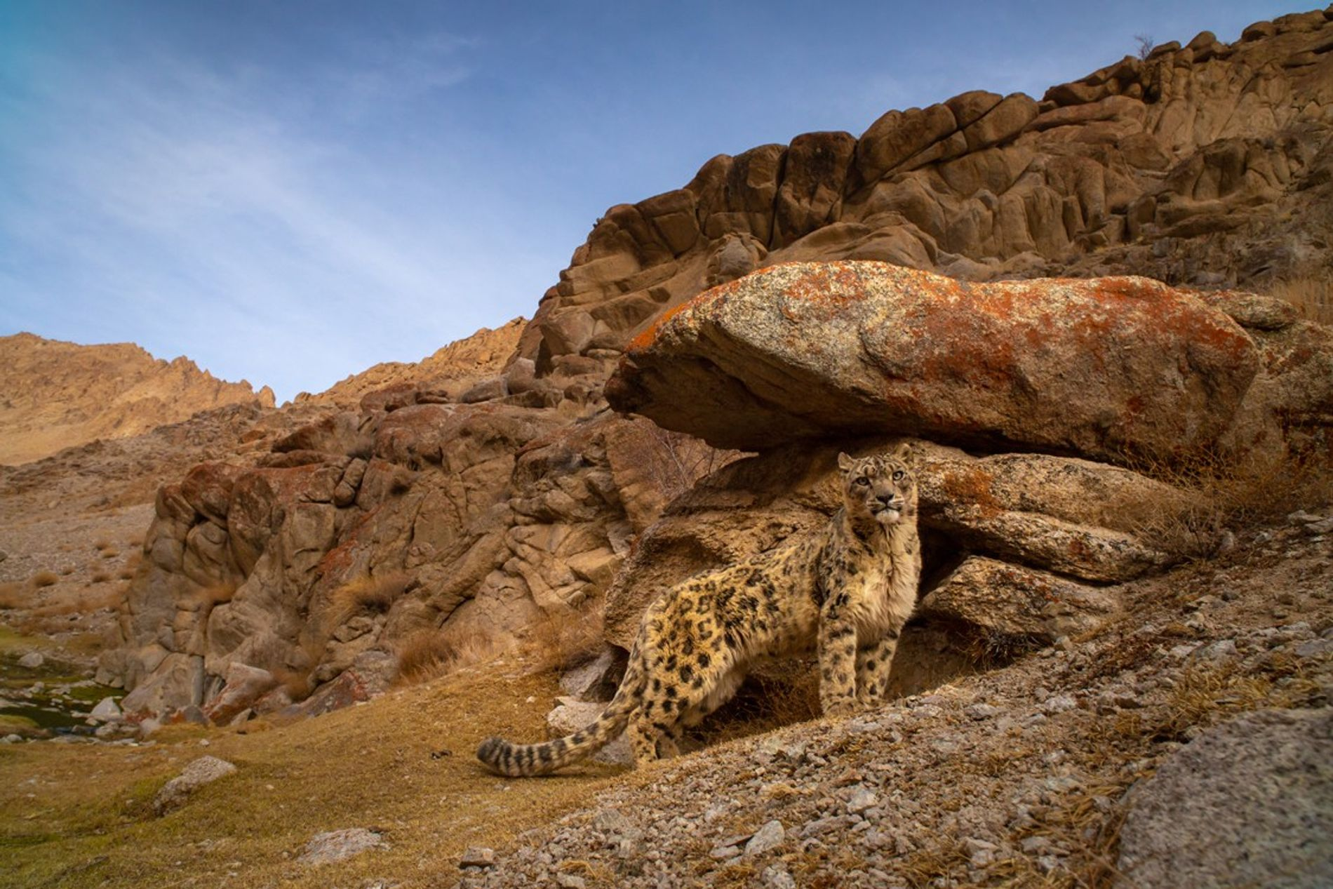 Connu pour être difficile à apercevoir, le léopard des neiges est un grand félin imposant au ...