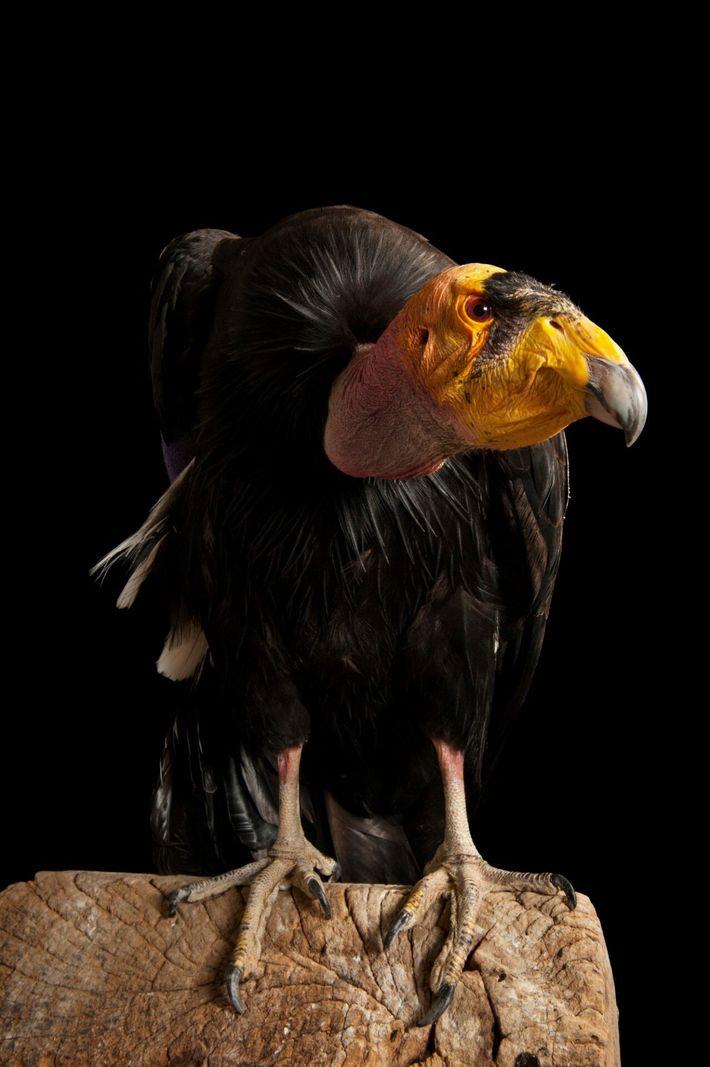 Plus grand oiseau terrestre d'Amérique du Nord avec ses 2,90 m d'envergure, le condor de Californie est ...