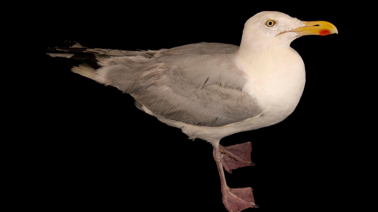 Goéland argenté(Larus argentatus argenteus) photographié auHessilhead Wildlife Rescue.