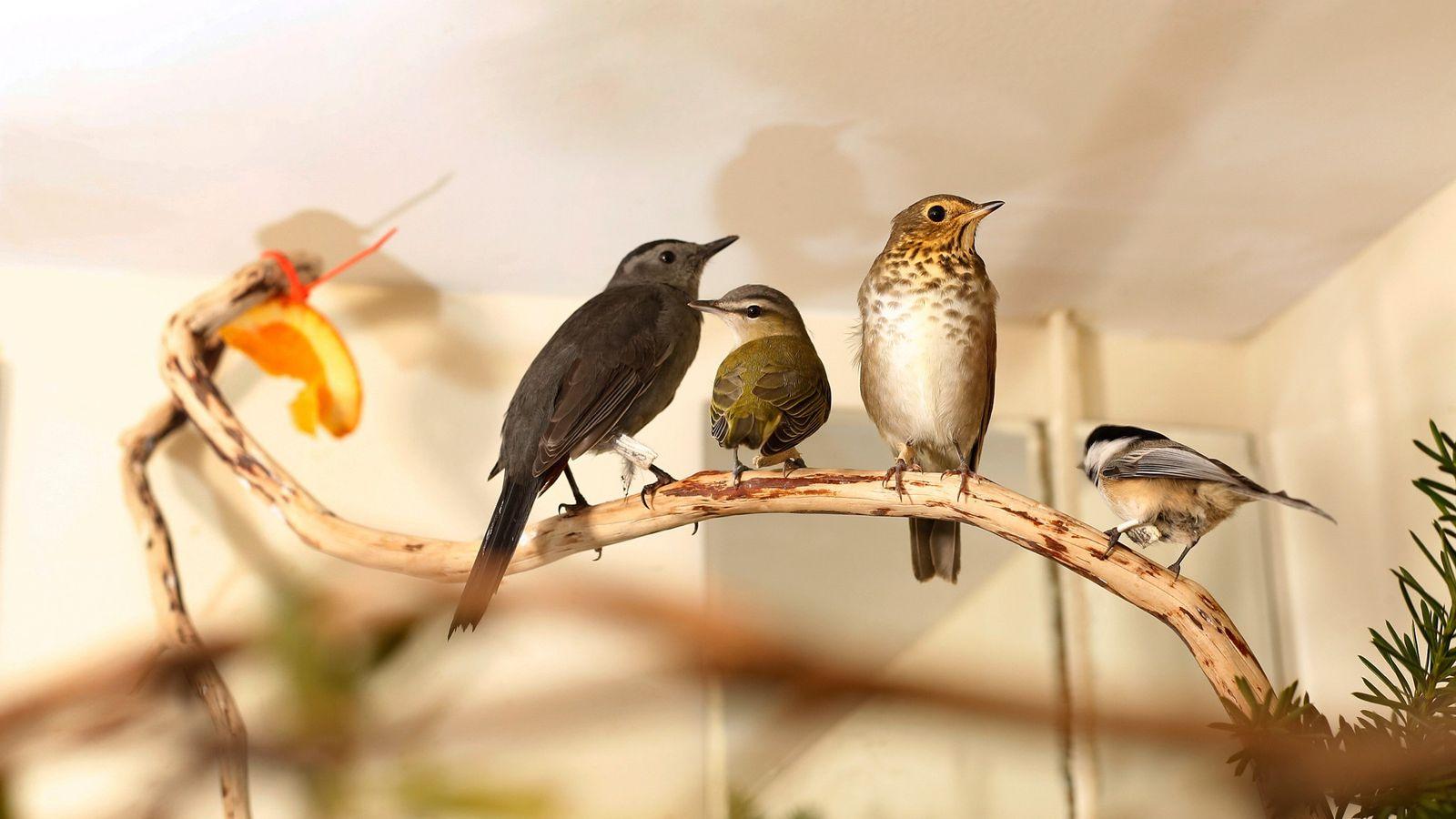 Des oiseaux chanteurs secourus sont perchés sur une branche au Wild Bird Fund de New York, le seul centre ...