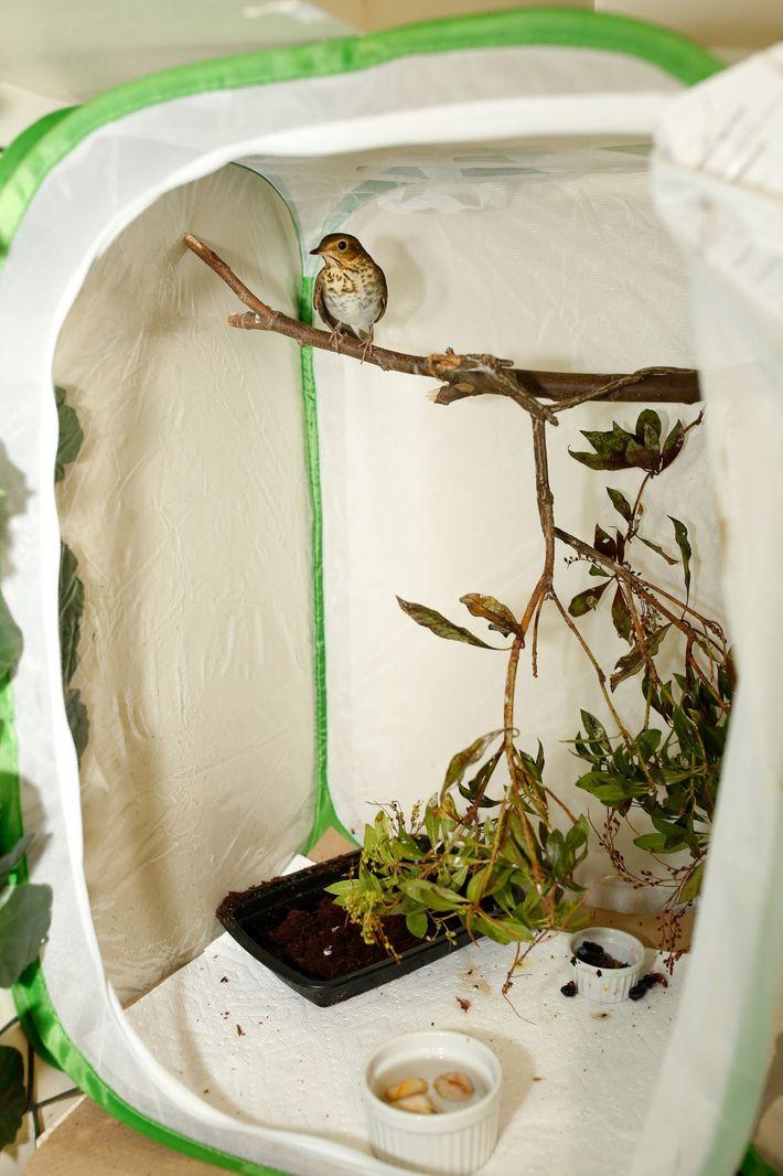 Une grive à dos olive se repose sur une branche à l'intérieur d'un sac souple, qui ...