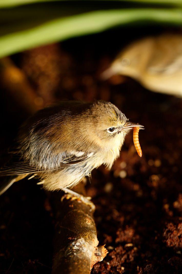 Une paruline des pins mange un ver de farine dans la pièce faisant office de volière. ...