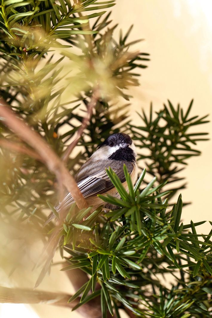 Une mésange à tête noire se cache sur une branche dans la pièce servant de volière ...