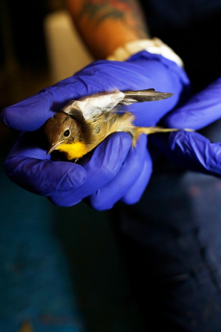 Tristan Higginbotham, soigneuse au Wild Bird Fund, manipule une paruline masquée blessée. Chaque année aux États-Unis, jusqu'à 1 milliard d'oiseaux ...