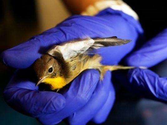 À New York, le nombre de collisions d'oiseaux augmentent, les associations s'organisent