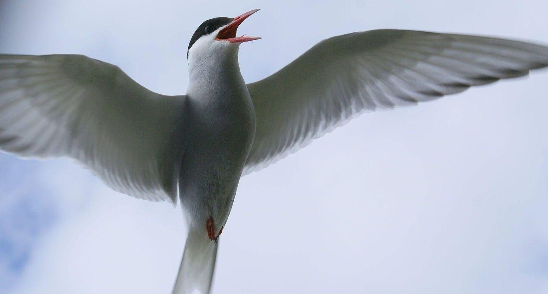 L'incroyable migration de la sterne arctique dévoilée par des GPS