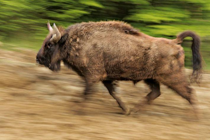 Le rut chez les bisons de Yellowstone