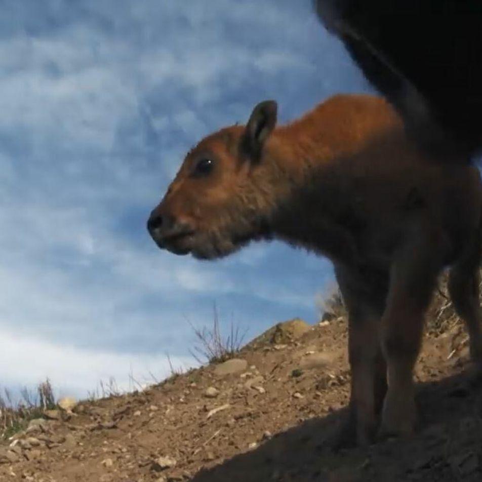 Un jeune bison traverse une rivière très dangereuse