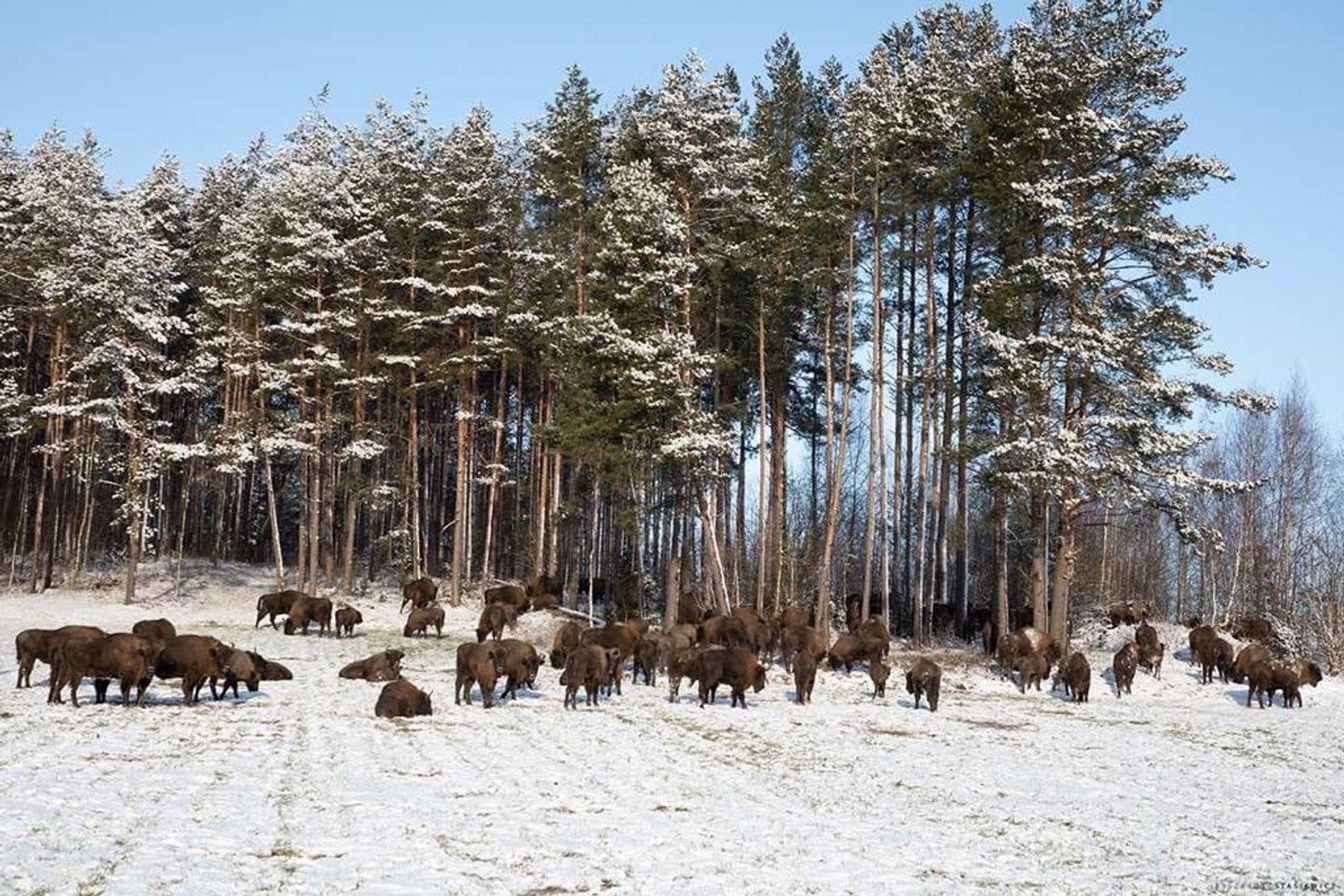 Des bisons européens réintroduits dans une forêt polonaise.
