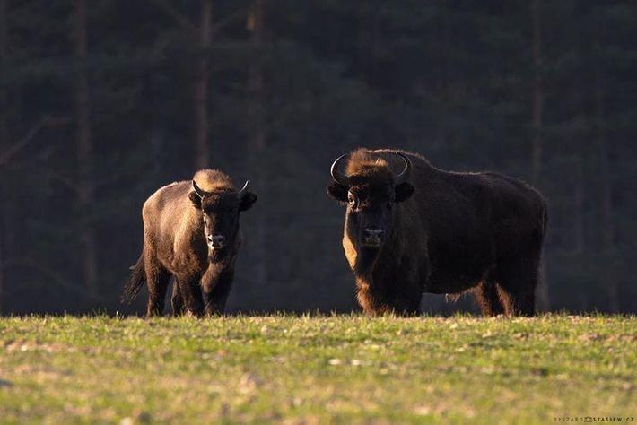Pour que la réintroduction des bisons d'Europe soit efficace, il est nécessaire de trouver des milieux ...