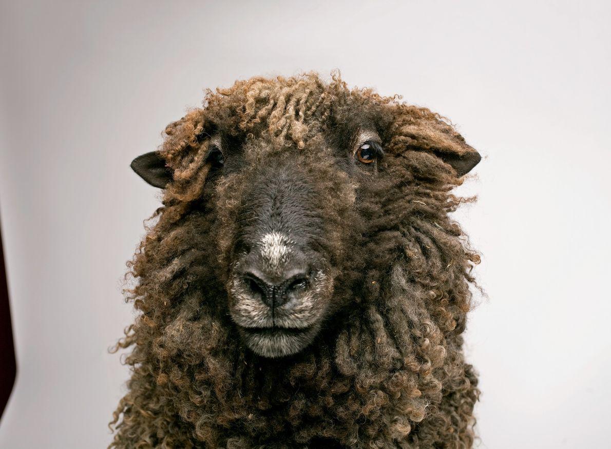 Des études ont montré que les moutons étaient capables de se reconnaître mutuellement et de se …