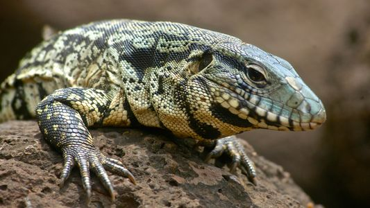 Les tégus d'Argentine, ces lézards géants qui envahissent les Everglades