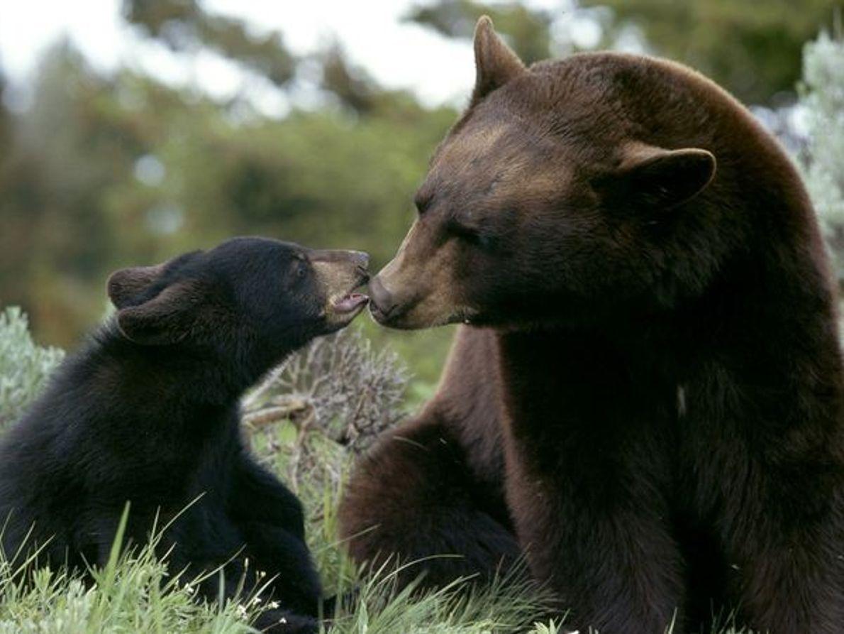 Une femelle ours brun et son ourson
