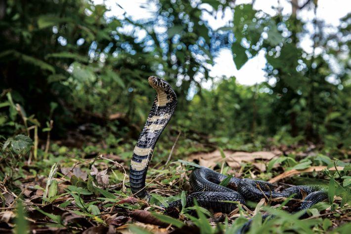 Un cobra noir et blanc se dresse dans une attitude défensive. En Afrique, les cobras s'adaptent ...