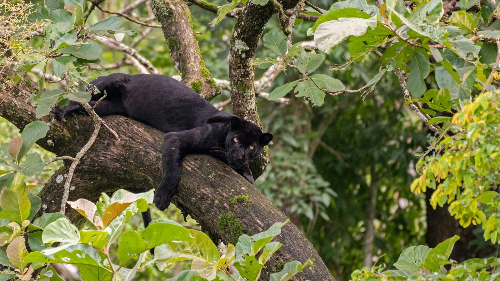 Cette panthère noire sauvage se repose sur un arbre du parc national de Nagarhole, en Inde. ...
