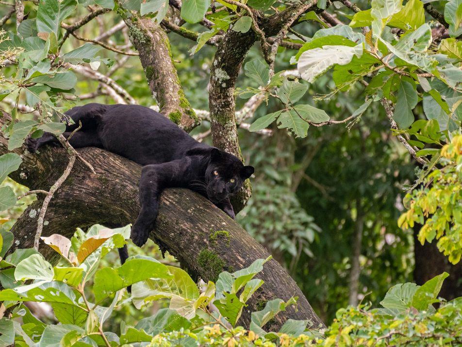 En Floride, l'attaque d'une panthère noire relance le débat sur la mise en scène d'animaux sauvages