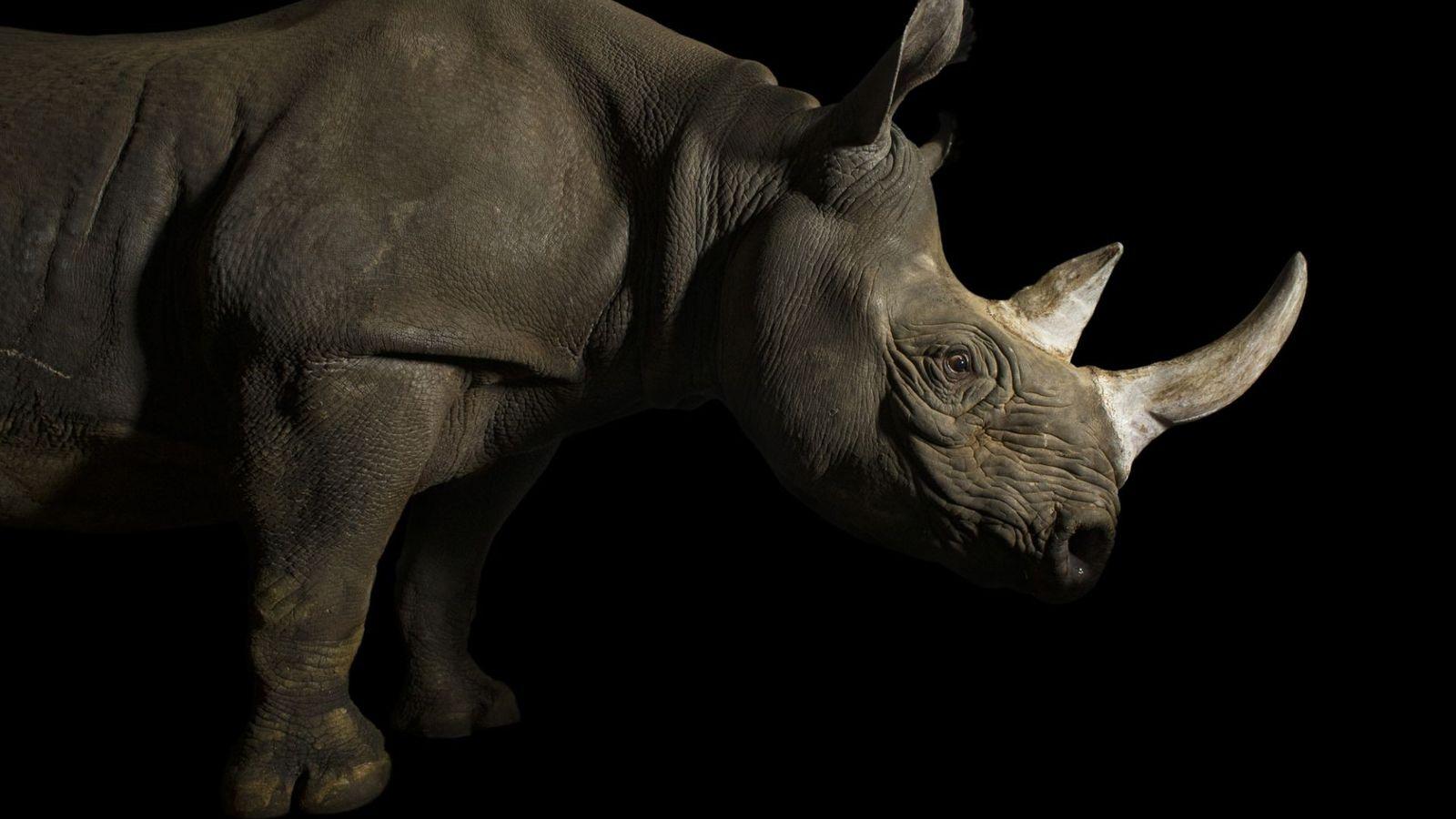 Cette femelle rhinocéros noir de l'Est (Diceros bicornis michaeli), une espèce menacée d'extinction, a été photographiée au ...