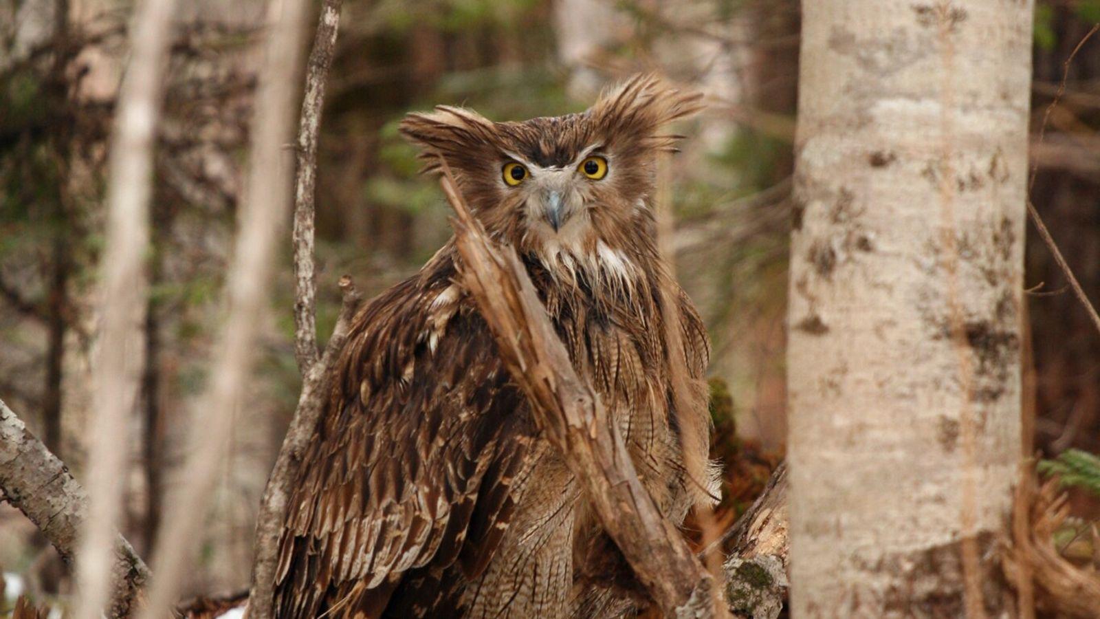 Photographié en mars 2008, ce grand-duc de Blakiston femelle, en alerte, les aigrettes dressées, est sur le ...