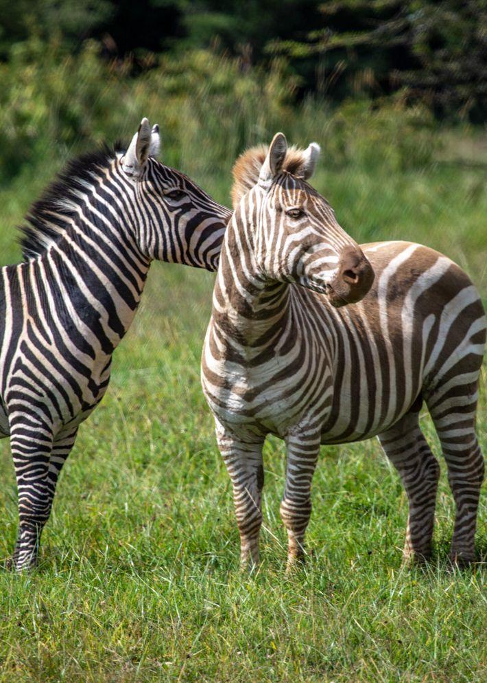 Sur ce cliché pris en juillet 2018 au Mount Kenya Wildlife Conservancy, un zèbre des plaines doré ...