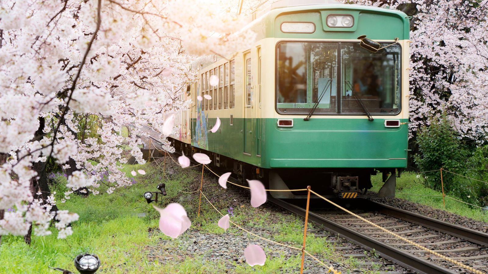 Un train local de Kyoto se fraie un chemin parmi les cerisiers en fleurs.