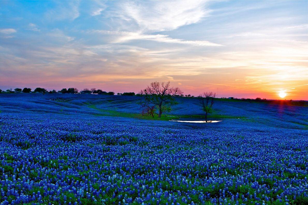 À environ 60 km au sud de Dallas se situe la petite ville d'Ennis, autoproclamée ville ...