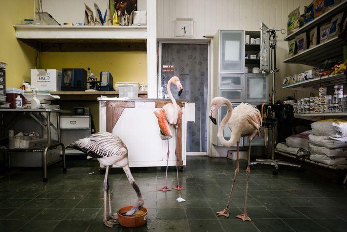 Bob (à droite) encourage deux flamants roses sauvés par Odette à se nourrir. Le jeune oiseau ...