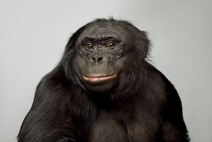Kanzi, un bonobo de 39 ans, est devenu célèbre pour ses compétences langagières. Il peut communiquer ...