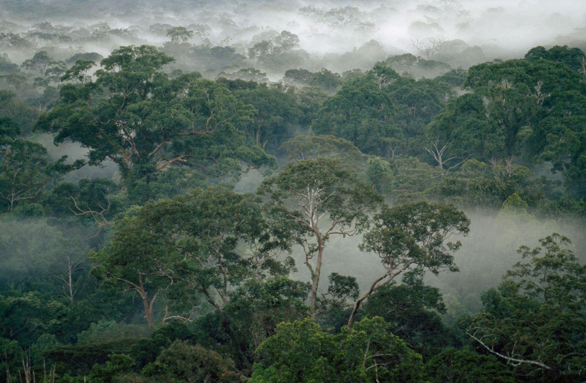 Les arbres de la forêt tropicale sont entourés de brume dans le parc national de Gunung ...