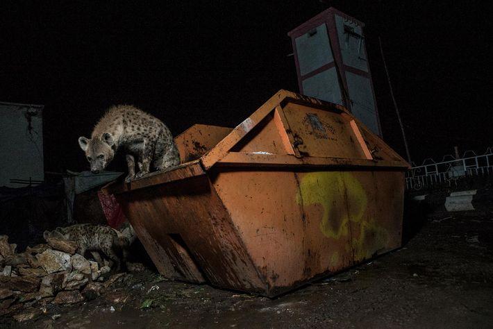 Sur le marché de viande de Magala Gudo, à Harar, des hyènes font leur festin dans ...
