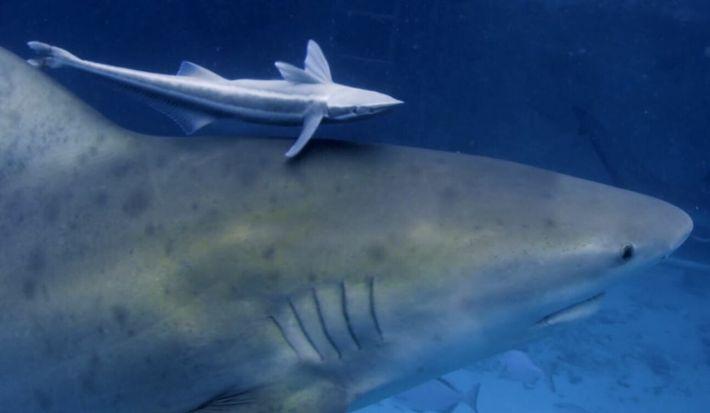 Le requin-bouledogue, dangereux prédateur en eaux peu profondes
