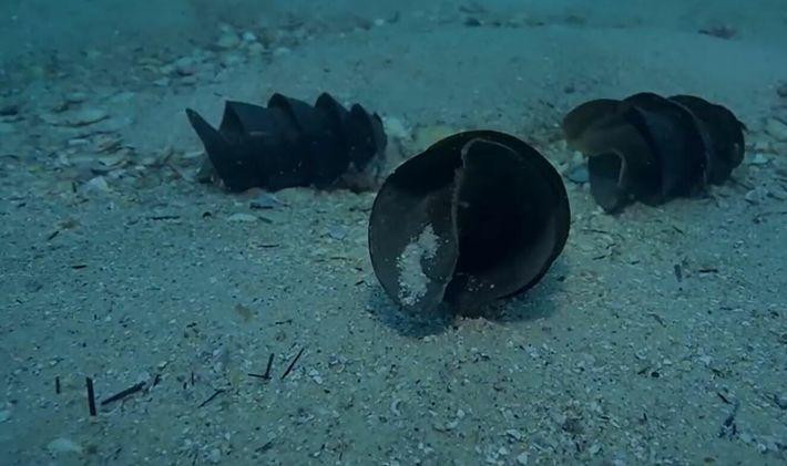 La  bourse de sirène , cet étrange œuf de requin